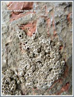 Red Triassic rock remnant on Carboniferous limestone with attached barnacles