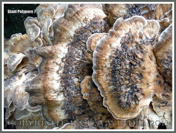 Giant Polypore fungus - Meripilus giganteus
