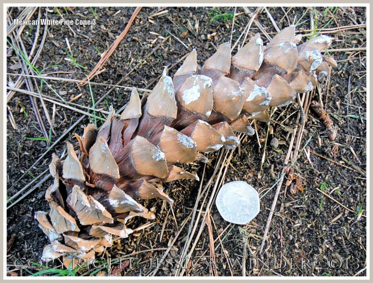 Pine cone from the Mexican White Pine tree.