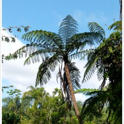Rebecca's Tree Fern in the Daintree rainforest of Queensland, Australia