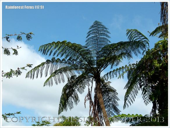 Rebecca's Tree Fern in the Daintree rainforest of Queensland, Australia