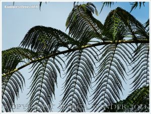 Fronds of Rebecca's Tree Fern in the Daintree Rainforest of Queensland, Australia, silhouetted against the blue sky.