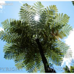 Cooper's or Scaly Tree Fern (Cyathea cooperi) in Cairns Botanic Gardens in tropical Queensland, Australia.