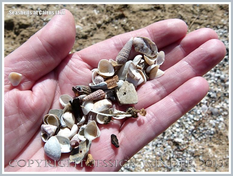 A handful of assorted small seashells scooped up from the beach at Cairns