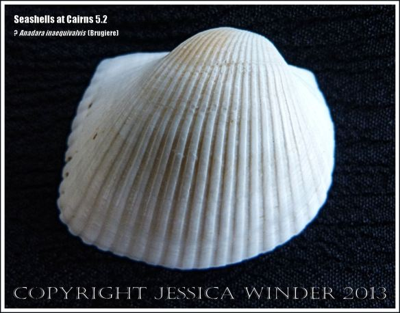 Outside of a bivalve seashell tentatively identified as Anadara inaequivalvis (Brugiere)