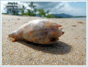 Common Baler, Giant Baler or Melon Shell (Melo amphora)