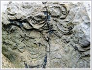 Brachiopod fossils embedded in the Hunts Bay Oolite Subgroup strata of the Carboniferous Limestone