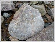 Storm beach boulder with embedded coral fossils