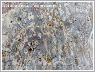 Close-up detail of coral fossils in Carboniferous Limestone boulder on the Gower Peninsula