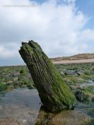 Old tree trunks in beach deposits at Whiteford Sands
