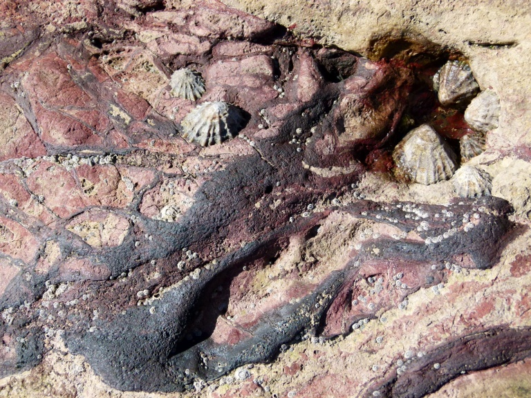 Limpets on dark red and purple rock