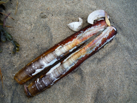 Razor clam shells on sandy beach
