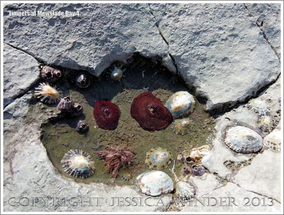 Limpets living on the rocky shore