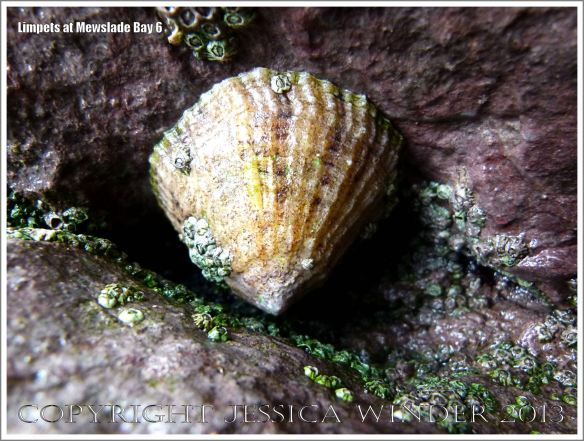 Limpet living on the rocky shore