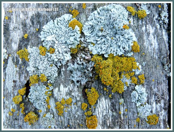 Lichens growing on a wooden structure on the seashore