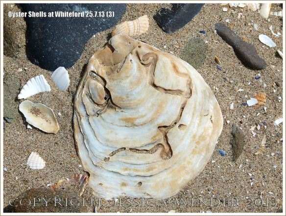 Oyster shell (Ostrea edulis Linnaeus) on the beach at Whiteford Sands