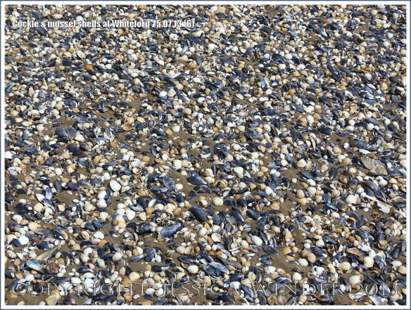 Cockle shells and mussel shells on a sandy seashore