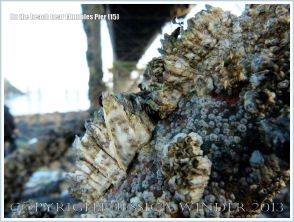 Barnacles growing beneath Mumbles Pier