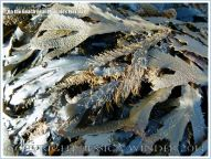 Hydroids growing on seaweed near Mumbles Pier