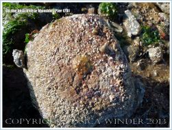 Oyster living attached to a beach stone at Mumbles.
