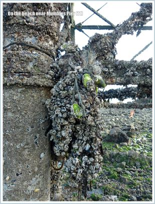 Mussels and barnacles growing on Mumbles Pier