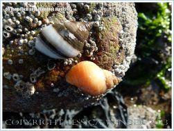 Dog Whelks on a beach stone near Mumbles Pier