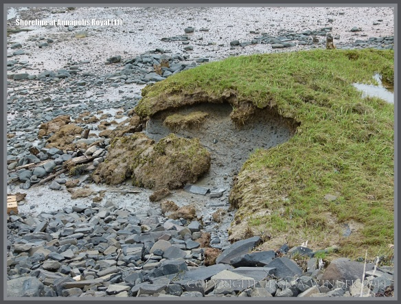 Eroding salt marsh muds and clays on the shore at Annapolis Royal