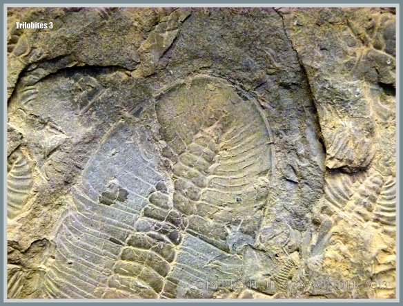 Trilobite fossils in a slab of mid-Cambrian Rock from British Columbia, Canada