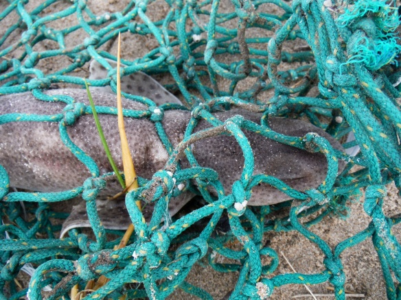 Dead dogfish in green fishing net