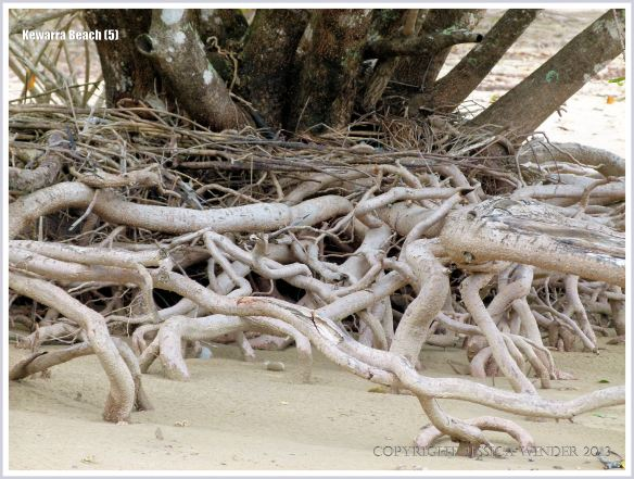 Exposed tangled network of tree roots