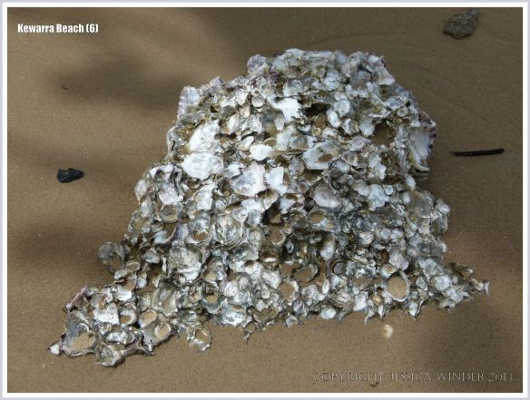 Australian native rock oysters on a beach boulder