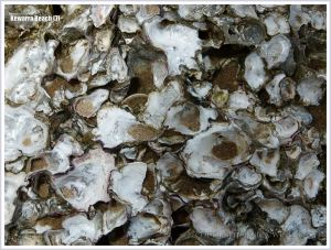 Close-up image of native rock oysters on a boulder