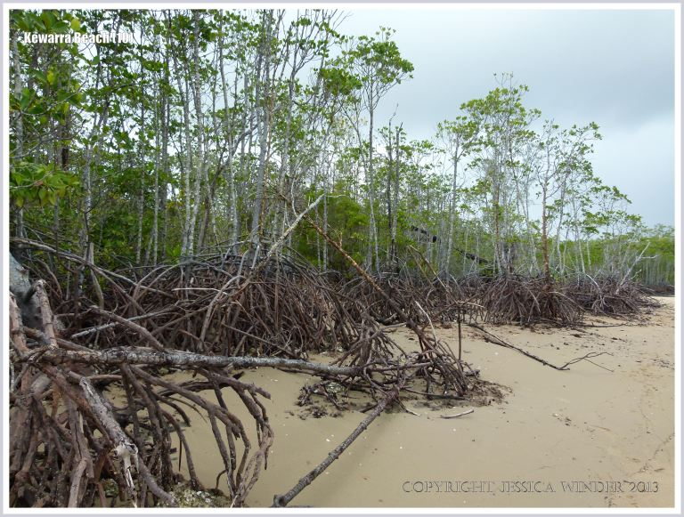 Trees with exposed roots growing on a sandy beach