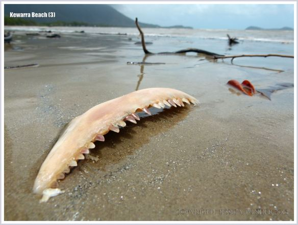 Fish jaw bone on the beach