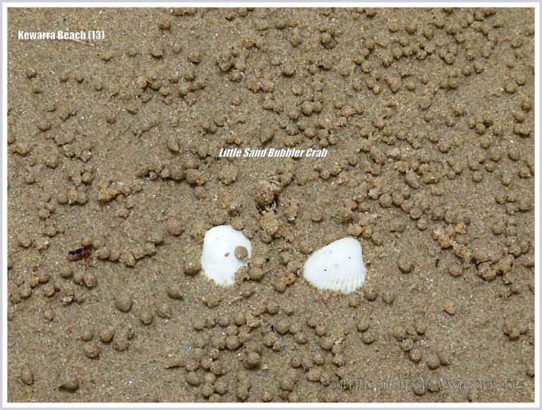 Sand Bubbler Crab and seashells