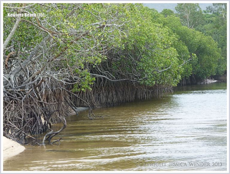 Small river estuary with mangroves