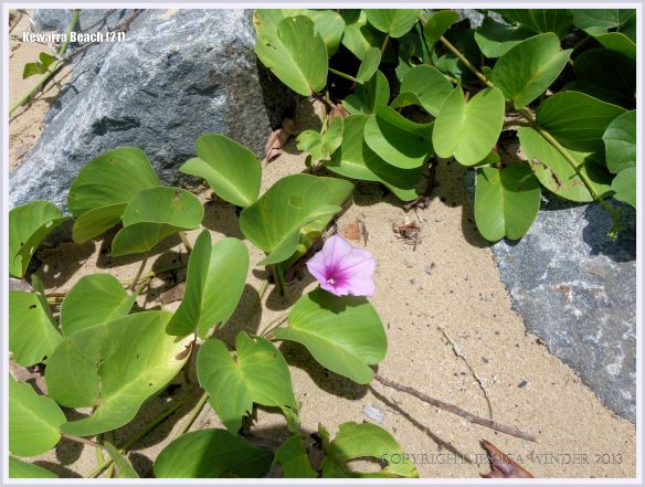 Flowering Morning Glory vine on the beach