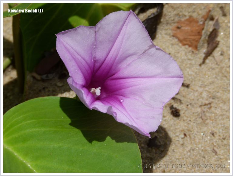 Goat's Foot Morning Glory flower on the beach