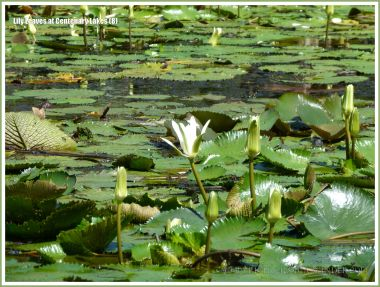 Water lily leaves and white water lily flowers at Centenary Lakes