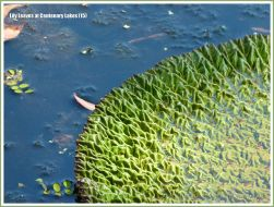 Partly opened water lily leaf with crumpled surface texture at Centenary Lakes