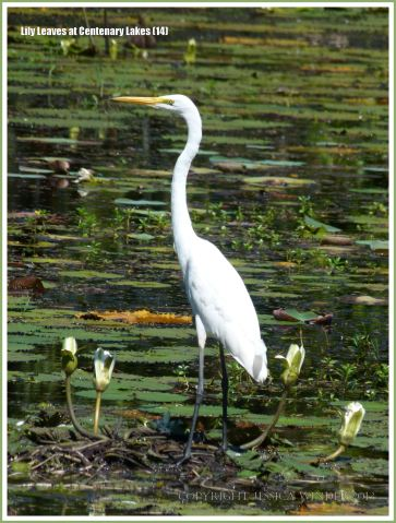 White Egret standing on water lily leaves at Centenary Lakes