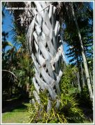 Sharp teeth on dead palm leaf stems still attached to the tree trunk