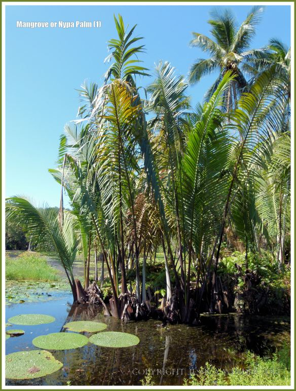 Mangrove, Nipa, or Nypa Palm growing in brackish water