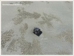 Box fruit from Barringtonia asiatica on sandy beach with pellets of the Bubbler Crab