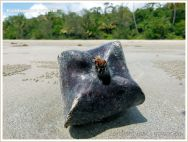 Box fruit from Barringtonia asiatica on sandy beach with pellets of the Sand Bubbler Crab