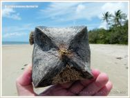A Box Fruit from the Beach Barringtonia mangrove tree with encrusting seamat and goose barnacles