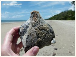 A Boxfruit from the Beach Barringtonia mangrove tree with encrusting seamat and goose barnacles
