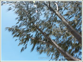 Casuarina branchlets blowing in the breeze