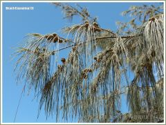 Pendant flexible branchlets and fruits of the Beach Casuarina