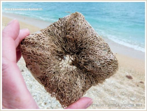 Fibrous remains of a Boxfruit from the Beach Barringtonia mangrove tree on a coral beach